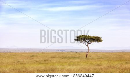 Lone acacia tree in the long grass of the Masai Mara, Kenya.  Space for text.