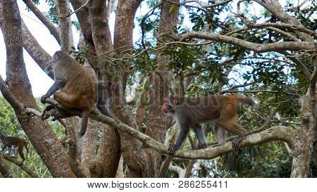 Monkey Macaque In The Rain Forest. Monkeys In The Natural Environment. China, Hainan