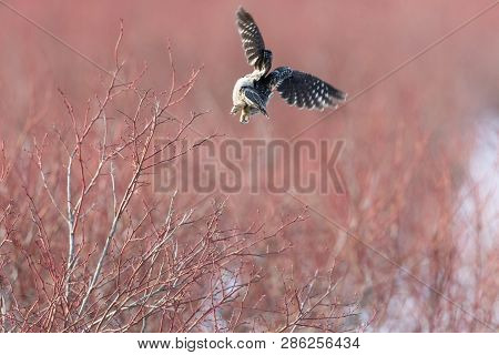 Northern Hawk Owl On Blueberry Tree, Hunting In Winter, At Vancouver Bc Canada