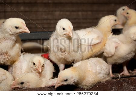 White Chickens At The Poultry Farm. Industrial Production Of Meat And Eggs