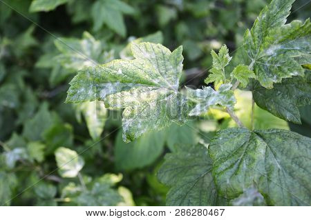 Black Currant Diseases. Downy Mildew. American Gooseberry Mildew And Powdery Mildew Can Infect The L