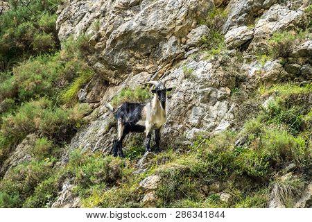 Mountain Goat In The Mountains Of Picos De Europa