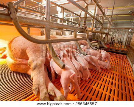 Swine Farming - Parent Swine Farm. Feeding Baby Piglets, One Of Livestock Farming Business Feeding I