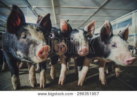 Berkshire Pig Or Kurobuta Pig -swine Farming Business In Relax Time. Pigfarmingis The Raising And