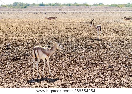 Young antelopes in a safari park on the island of Sir Bani Yas, United Arab Emirates poster