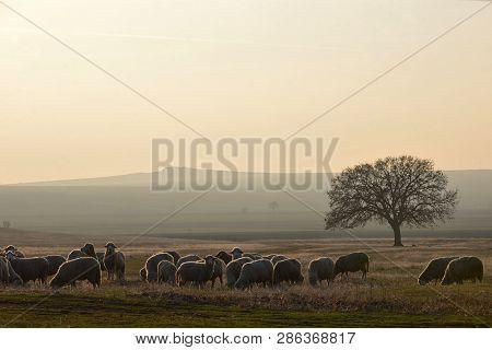 Sheeps Near An Oak Tree In The Sunset