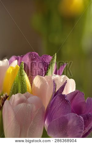 Bouquet Of Beautiful Tulips With Dew Drops