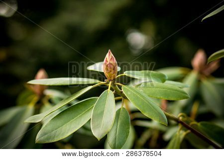 Close Up Of A Pink Rhododendron Bud With Lots Of Unfolded Flowers And Large Green Leaves.beautiful P