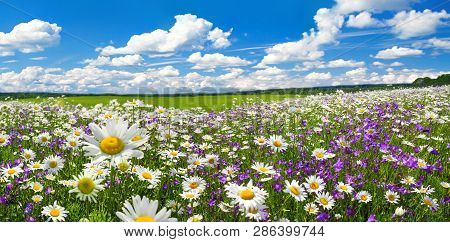 poster of spring landscape panorama with flowering flowers on meadow. white chamomile and purple bluebells blossom on field. panoramic summer view of blooming wild flowers in meadow