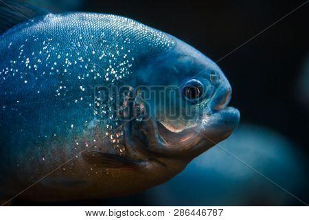 Portrait Of Predatory Piranha Fish In The Zoo Aquarium.