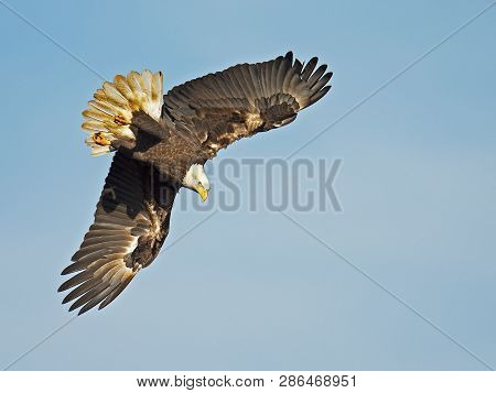 A Bald Eagle Dives Down Towards Water