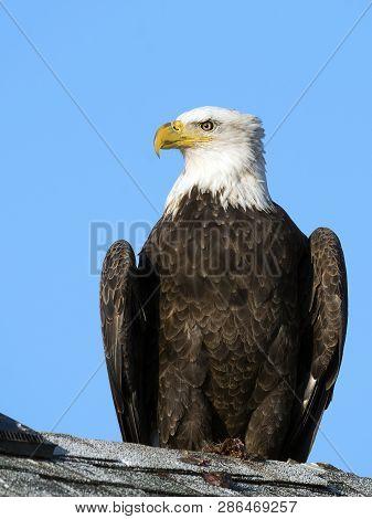 A Close Up Portrait Of A Bald Eagle
