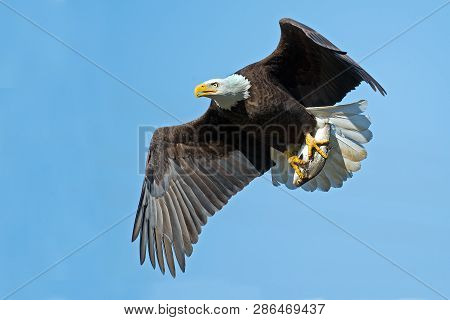 A Bald Eagle In Flight With Fish
