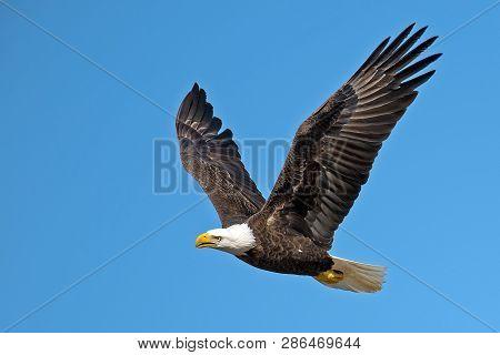 A Beautiful Bald Eagle In Flight Flying