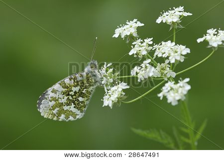 Female orange tip (Anthocharis cardamines)