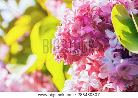 Summer landscape view with lilac flowers. Blooming summer lilac flowers, summer lilac branch lit by sunlight. Selective focus at the central lilac flowers