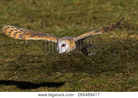 The Western Barn Owl, Tyto Alba Is Usually Considered A Subspecies Group And Together With The Ameri