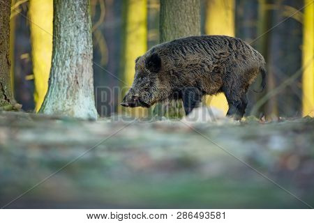 Up The Scrofa. The Wild Nature Of The Czech Republic. Free Nature. Picture Of An Animal In Nature. B