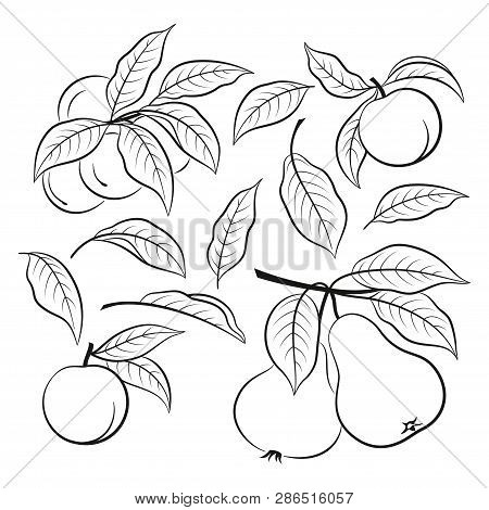 Set Of Plant Brunches With Fruits Of Peach And Pear And Leaves, Black Pictograms Isolated On White.