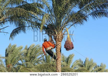 Hurghada / Egypt. 31 July 2018:man Harvesting Dates On Palm Trees. Man Cutting Clusters Of Dates Han