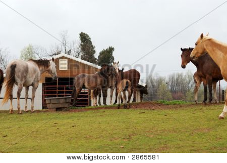 Horses grazing at a horse farm on cloudy day. poster