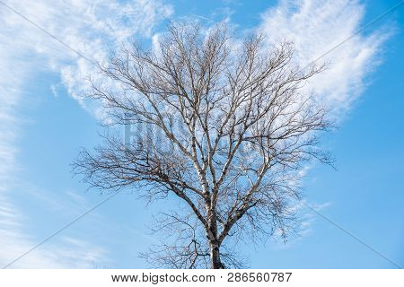 Tall Birch Tree Treetop (plantae Magnoliophyta Magnoliopsida Fagales Betulaceae Betula) Branches Wit