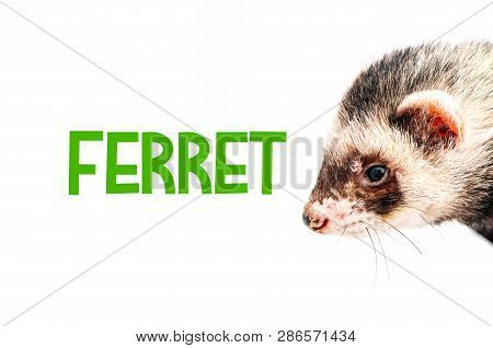 Polecat Portrait, Isolated On White Background. Silver Ferret Head.