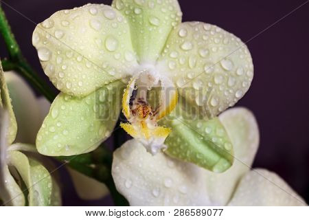 Orchid Flower. Flower In Garden At Sunny Summer Or Spring Day. Flower For Postcard Beauty Decoration