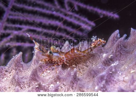 Alpheus Is A Genus Of Snapping Shrimp Of The Family Alpheidae.