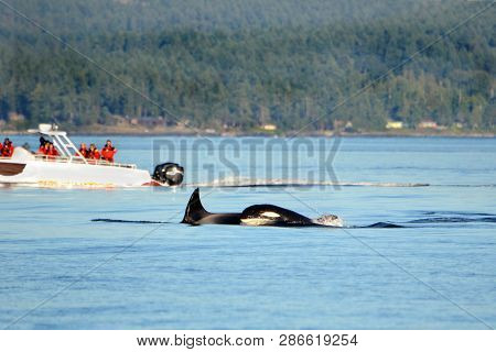 Pod Of Orca Killer Whale Swimming, With Whale Watching Boat In The Background, Victoria, Canada