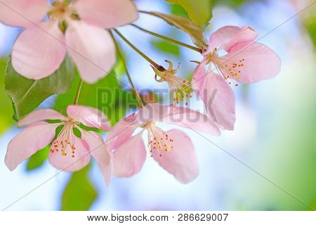 Stamens Of Blossom Flowers With Pink And Red Petals On Background Of Blue Sky. Easter Background Wit
