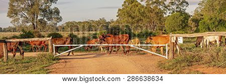 Cattle Droving Across A Dirt Road At Sunrise In Australia