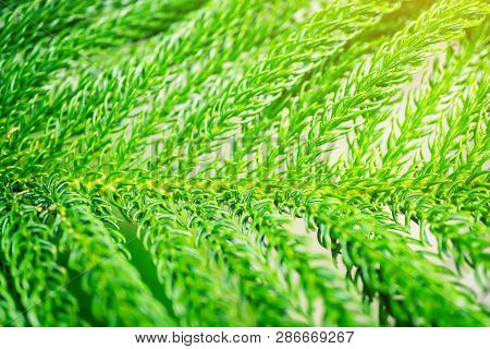 The Leaves Of Conifers, Pine Branch, The Branches Of The Pine Forest. Commonly Used In Christmas Dec