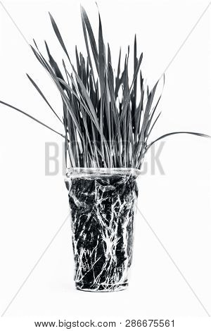 Wheatgrass Isolated On White.wheatgrass Is The Freshly Sprouted First Leaves Of The Common Wheat Pla