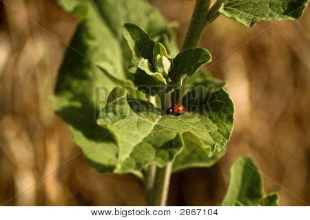A Ladybird On A Leaf