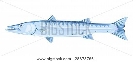 One Barracuda Fish In Side View, High Quality Illustration Of Sea Fish, Realistic Ray-finned Fish Il