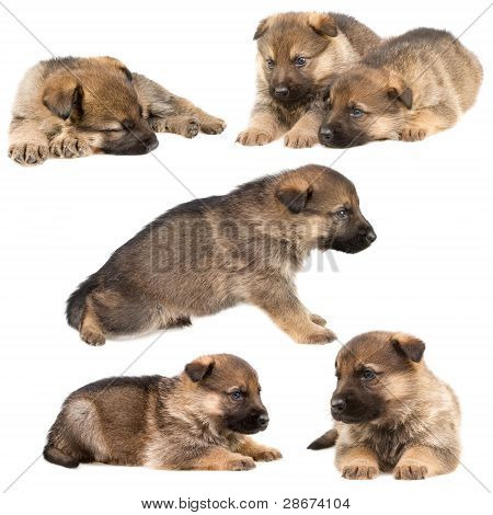 Set Of German Shepherd`s Puppys Isolated On White Background