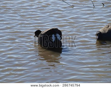 American Coot Displays Their Water Dance  Feathers In A Rare Display On  A Local Lake.