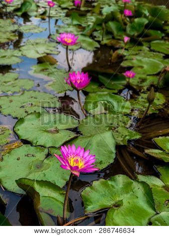 Sea Of Lotus Flower On The Pond. Concept Of Spiritual Enlightenment, Rebirth And Awakening. Selectiv