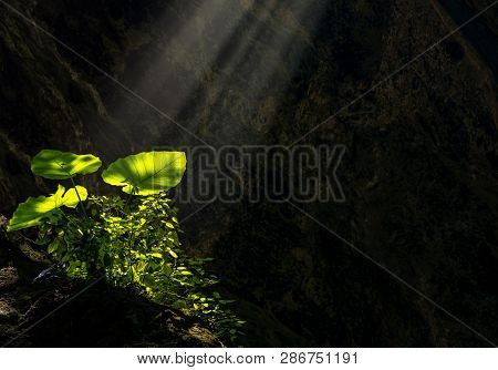 Taro leaves glowing and shining from sun ray enlighten the dark cave where its grow. Concept of miracle invention, hidden beauty and discovery. Colocasia esculenta poster