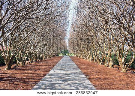 Dallas, Texas- Feb.26,2019 - In The Dallas Arboretum Crape Myrtle Tree Tunnel In Late Texas Winter T
