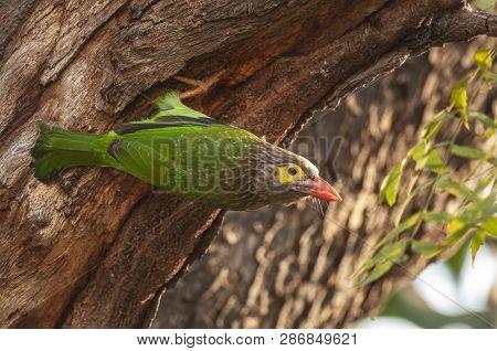 Brown-headed Barbet, Megalaima Zeylanica, Bharatpur, Rajasthan, India