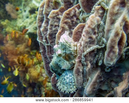 Camouflaged Scorpionfish On Reef - Moalboal, Philippines
