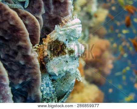 Scorpionfish Camouflaged In Coral Reef - Cebu Island, Philippines