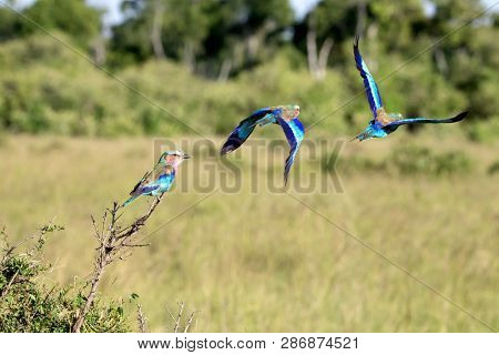 Lilac-breasted roller flight sequence. Takeoff from a branch in the Masai Mara, Kenya.