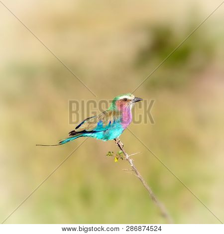 Lilac-breasted roller,  Coracias caudatus, perched on a branh in the Masai Mara, Kenya. Neutral bokeh background with space for text.