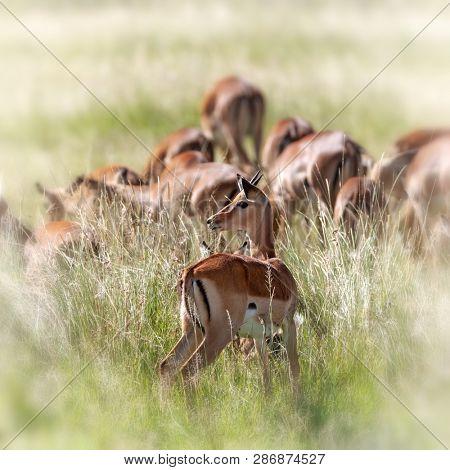 Young male impala in the long grass of the Masai Mara, Kenya, infront of a grazing herd.