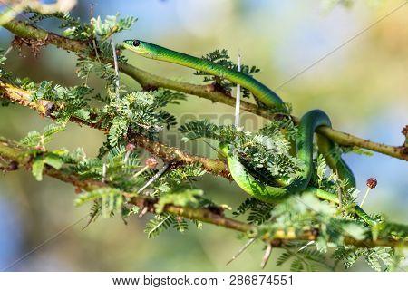The non-venomous common green snake, Philothamnus, coiled around the thorns of an acacia tree on the banks of Lake Naivasha, Kenya.