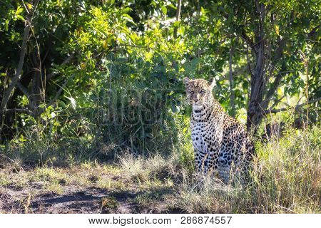 Beautiful young adult leopard, Panthera pardus, in the undergrowth of the Masai Mara, Kenya. This cat has distinct black and gold rosette markings.