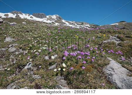 Alpine Flora At Mountain Top Nebelhorn, Pink Primrose And Crowfoots, Snow Melting In May.